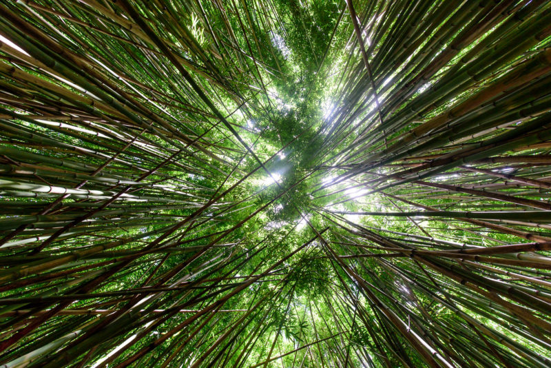 bamboo forest maui